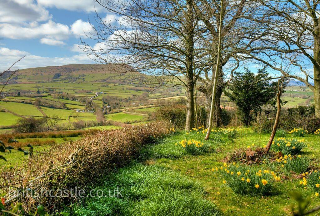 Daffodils growing near White Castle in Wales